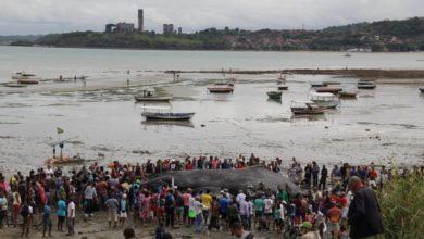 Photo of Morre baleia jubarte encontrada encalhada na praia de Coutos