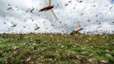"""Photo of Nuvem de gafanhotos pode chegar à Bahia? Geógrafo explica que é """"improvável, mas não impossível"""""""