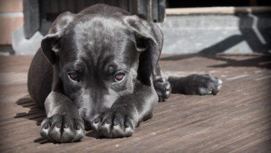 Photo of Período junino exige cuidados com os cães; veterinária dá dicas
